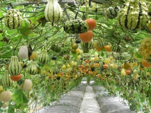 A garden with squash, representing acupuncture and Chinese medicine's view on fertility